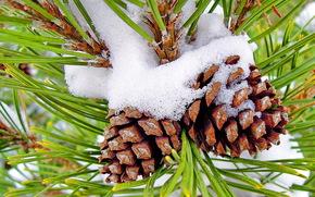 Cones, needles, snow, pine, branch, Macro