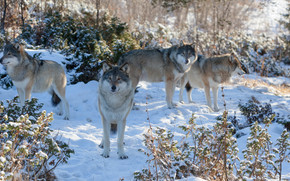 winter, forest, Wolves, pack