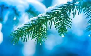 winter, branch, spruce, needles, Macro