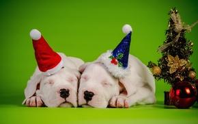 Dogo Argentino, Cuccioli, Cane, coppia, addormentato, sogno, caps, a spina di pesce
