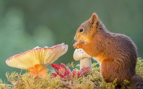 squirrel, grby, animal