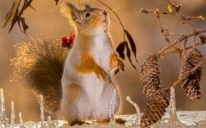 squirrel, rodent, animal