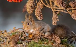 squirrel, Cones, BRANCH