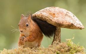 squirrel, mushroom, moss