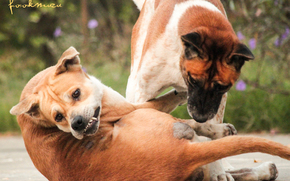 dogs, Dogsthai, Thailang