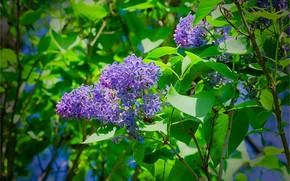 分行, 叶子, 花卉, 紫丁香