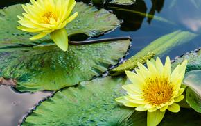 водоём, цветы, лилии, флора
