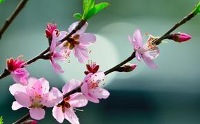 cereza, Flores, rama, flora, Macro