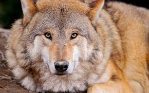 loup, prédateur, animaux