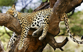 leopard, tree, recreation, sleeps.