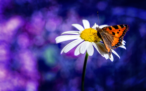 camomile, butterfly, Macro