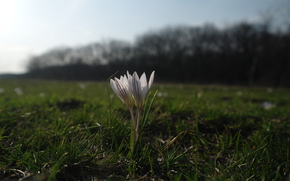flower, field, sun