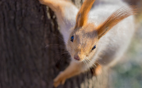 Eichhörnchen, Baum, Red, Ohren, Macro