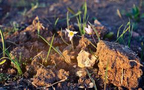 Kwiaty, przebiśnieg, SPRING, tło, tapeta