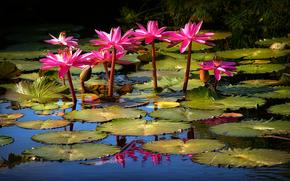 Lily, лилии, цветы, флора