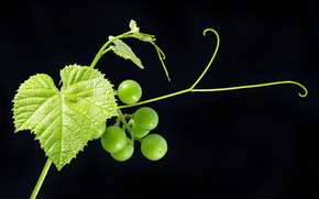 grapes, foliage, BERRY, vine, Macro