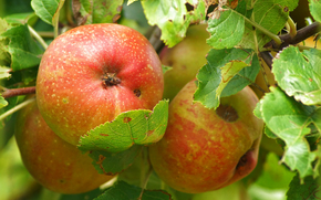apple, apples, foliage, BRANCH, Macro