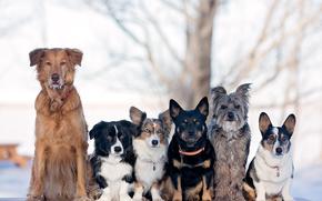 Dog, Serie, Pyrenäen-Schäferhund, Welsh Corgi, Freunde und Genossen