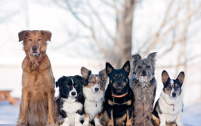 Dog, series, Pyrenean Shepherd, Welsh Corgi, friends and comrades