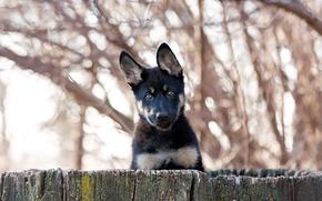 German shepherd, dog, puppy, Snout, ears, view