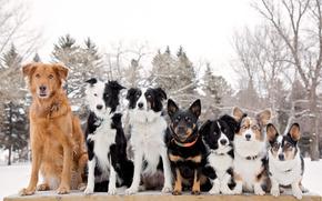 собаки, шеренга, Бордер-колли, Вельш-корги, друзья-товарищи