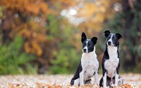 Border Jack, Dog, Friends, foliage