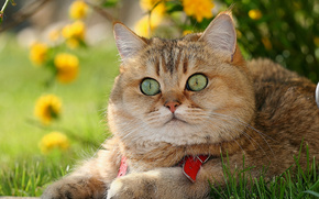 British Shorthair, Briton, COTE, Kotofey, Red, Snout, enormous eyes, view