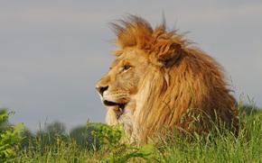 лев, царь зверей, грива, трава