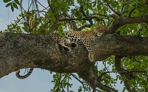 豹, 放松, 娱乐, 树, 上树