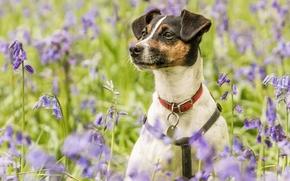 собака, ошейник, луг, цветы, колокольчики, портрет