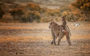 Pavian Taxi, Maasai Mara, Kenya, Masai Mara, Kenya, baboon, monkey, cub