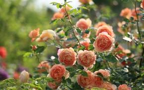 розовый куст, розы, бутоны