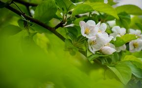 apple, branch, flowering, flowers, foliage, SPRING, Macro