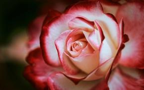 rose, Petals, Macro