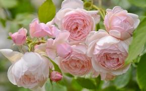 Roses, GERMOGLI, Macro, tenerezza