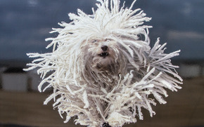Havanese, dog, shaggy, dreadlocks, running