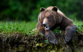 медведь, топтыгин, зверь, лапы, когти
