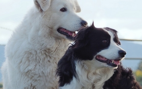 Dog, Border Collies, friends and comrades, portrait