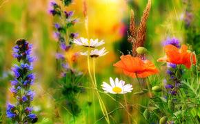 野花, 黄春菊, 罂粟, 宏, 夏天