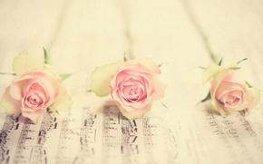 розы, бутоны, ноты, макро