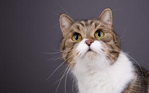 COTE, gatto, museruola, baffi, ritratto