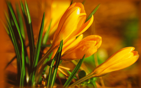 Flores, Azafranes, Macro