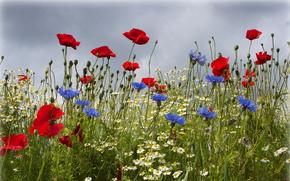 поле, цветы, ромашки, васильки, маки