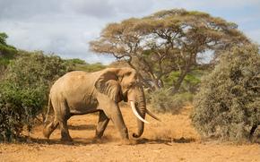 Африка, природа, бивни, деревья, слон