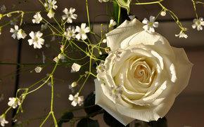 White Rose, rose, BUD, Petals