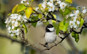 Каролинская гаичка, гаичка, птичка, птица, ветки, цветение, цветки