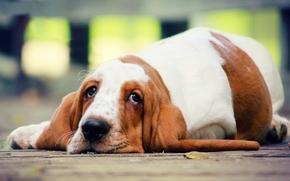 Бассет-хаунд, собака, пёс, взгляд