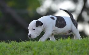 cão, cachorro, bebê, tour