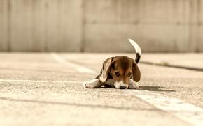 beagle, cão, cachorro