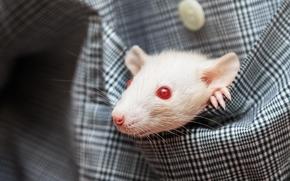 ratto, ratto, museruola, tasca, nella tasca